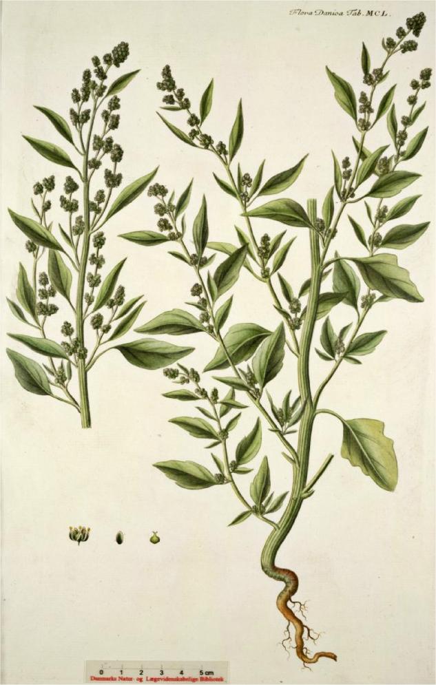 melganzenvoet-oude-plant