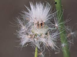GEWONE MELKDISTEL een alom groeiende wilde plant, waarvan alles eetbaar is