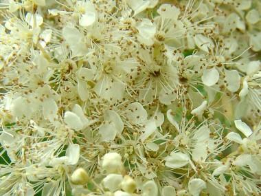 moerasspirea-bloemen