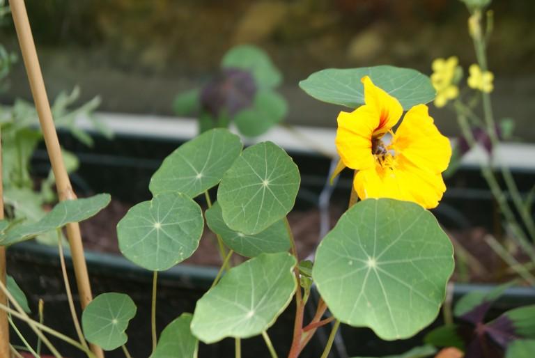 OOST INDISCHE KERS een plant voor meer als alleen decoratie