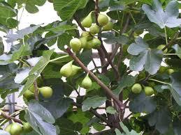vijg-met-vruchten