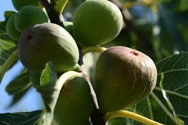 vijgen-aan-boom