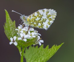 vlinder-op-look-zonder-look