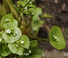 winterpostelein-bloeiend-fot-klaas-dijkstra