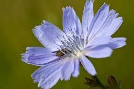 WILDE CICHOREI de hemelsblauwe bloemen kom je op de raarste plekken tegen