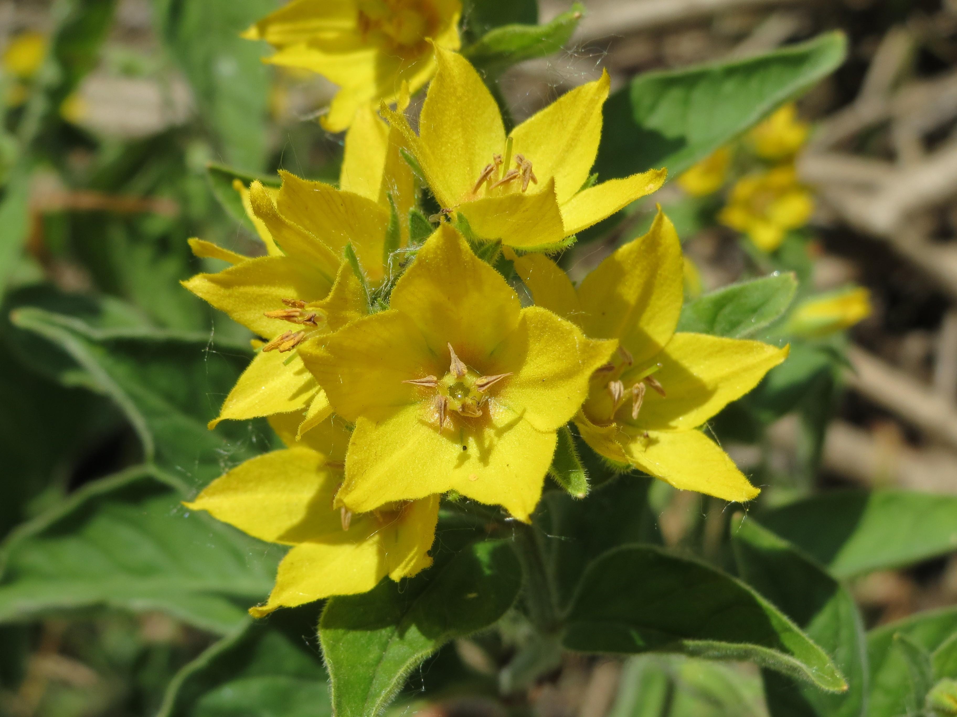 GROTE WEDERIK een bron voor Vitamine C in het voorjaar