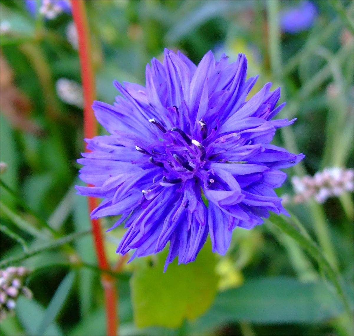 KORENBLOEM met echt blauwe bloemen