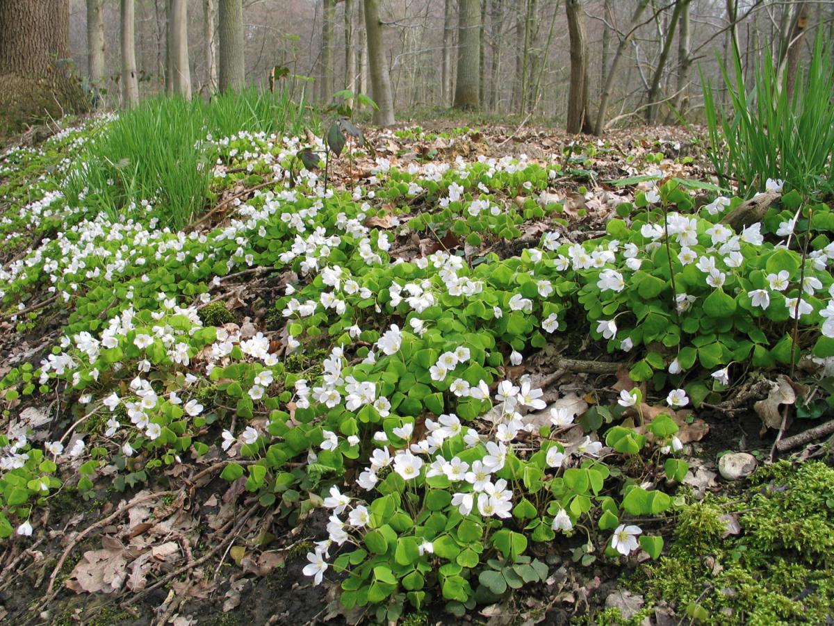 KLAVERZURING, WITTE prachtige tere plantjes , de ideale onderbegroeiing
