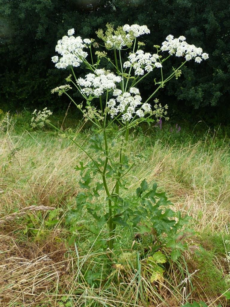 BERENKLAUW is een gewone inlandse, zelfs eetbare wilde plant, dus geen paniek