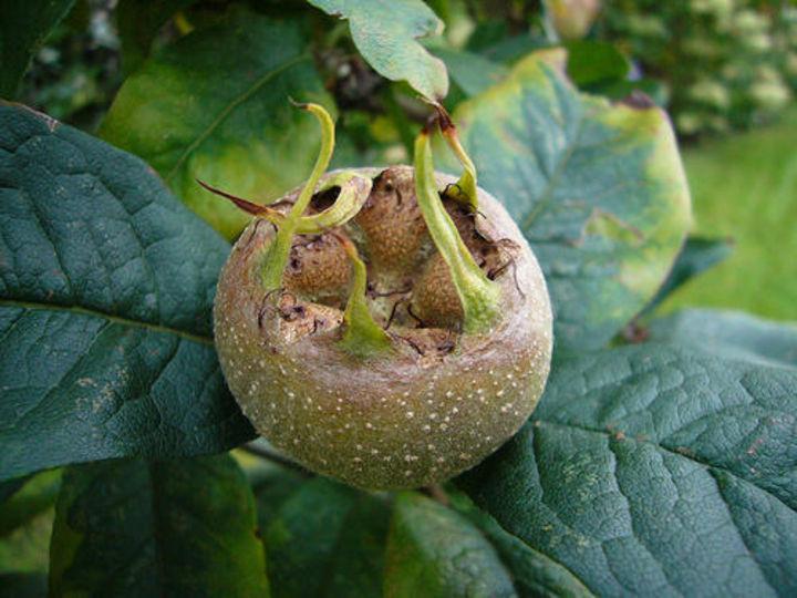 MISPEL hoe rot moeten de vruchten eigenlijk zijn?