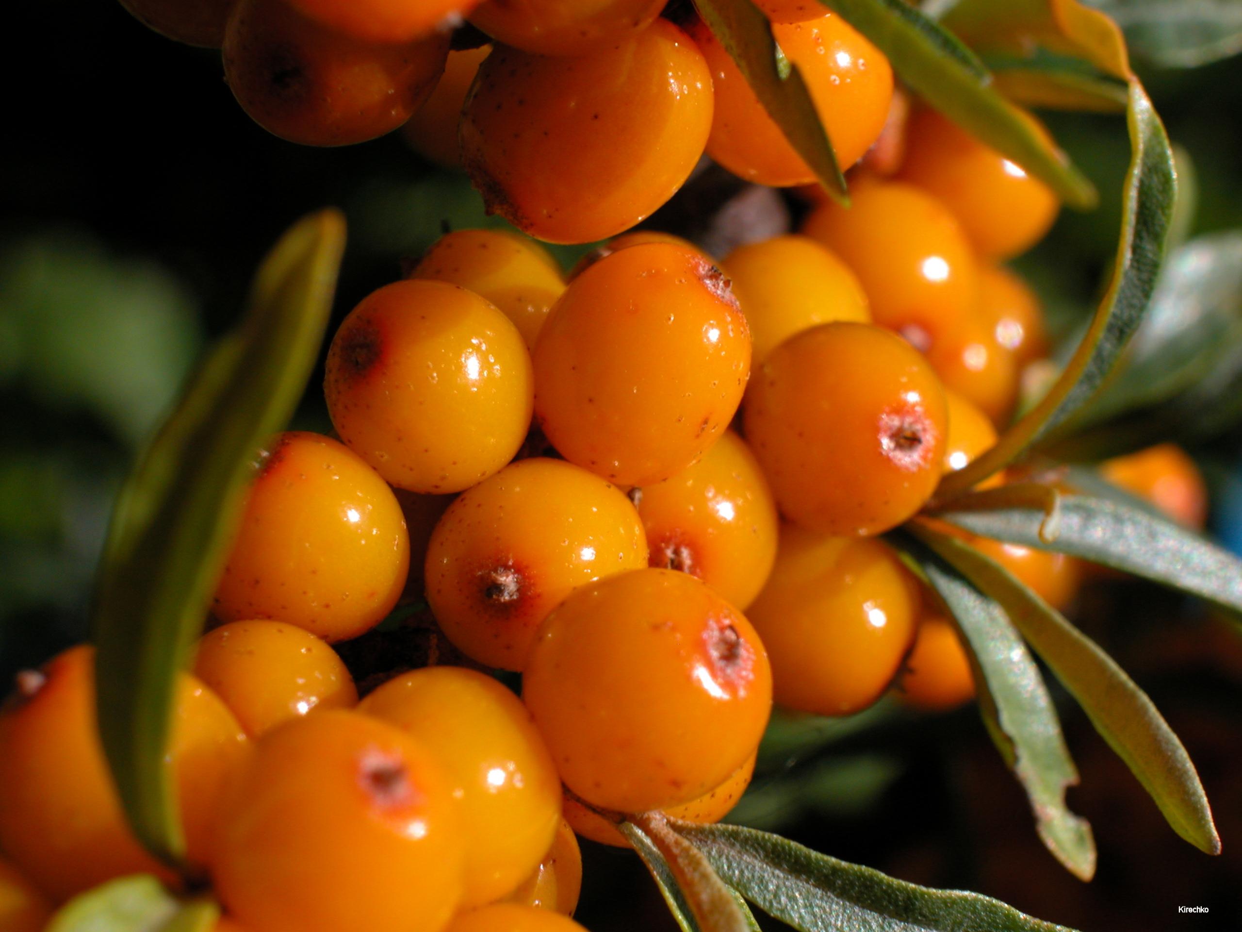 DUINDOORN een stekelige struik met zeer zure, erg decoratieve oranje bessen