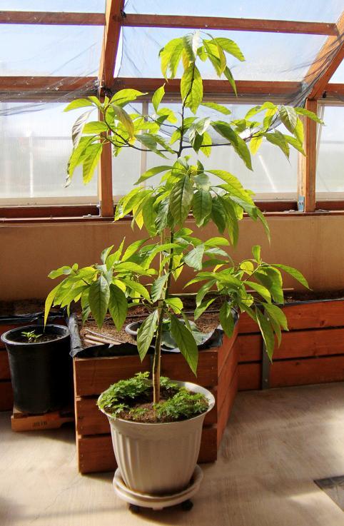 een avocadoplant in huis. het kan, maar weet waar je aan begint.