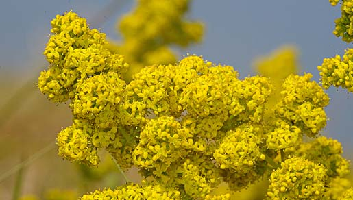 GEEL WALSTRO   voor een mooie gele zonnige weide vol bijen en vlinders