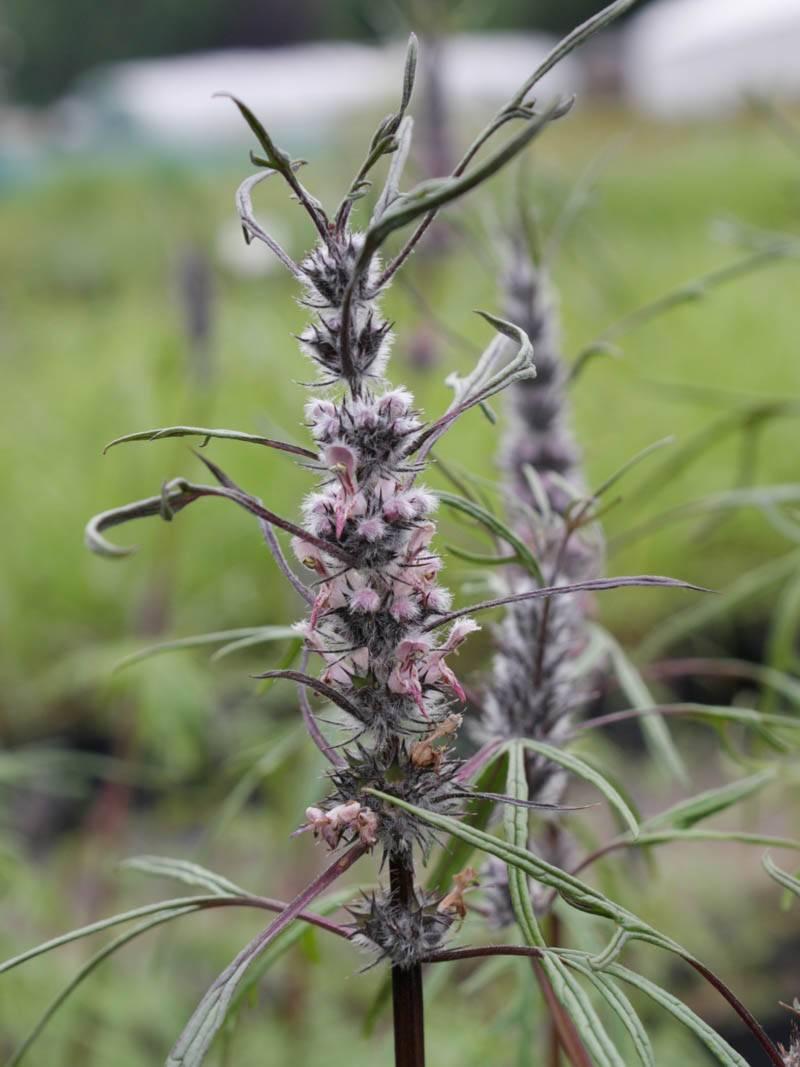HARTGESPAN misschien wel een lastige, maar interessante (medicinale) kruidenplant