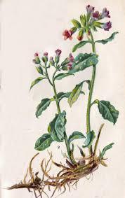 LONGKRUID is een plant, die veel discussie heeft opgeleverd