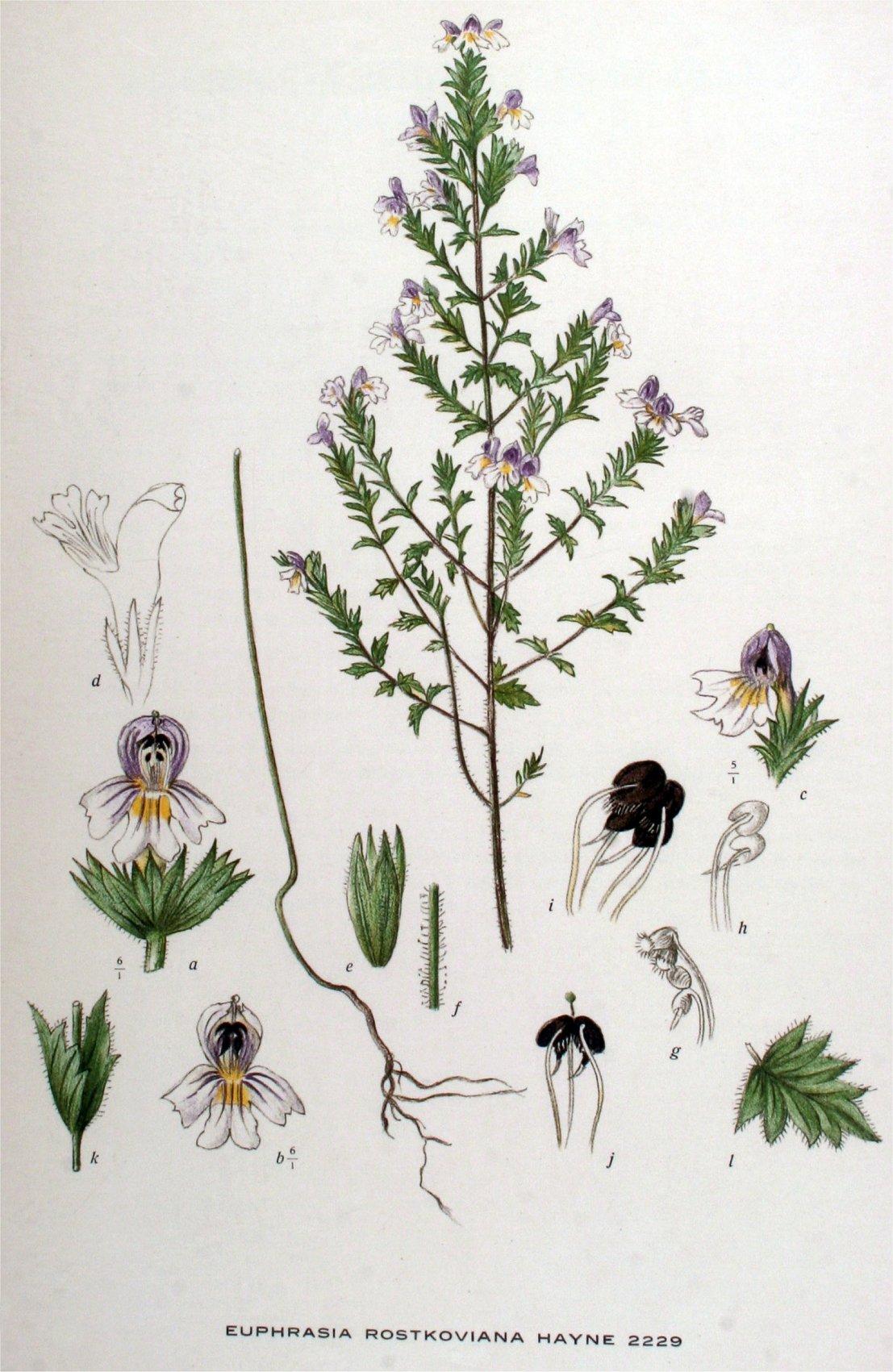 OGENTROOST   een oude medicinale plant