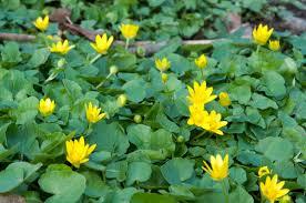"""SPEENKRUID = een """"wilde""""groente van het prille voorjaar voordat het gaat bloeien"""